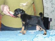 Продаю щенков бельгийского и брюссельского гриффона.